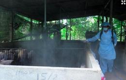 Nguy cơ dịch tả lợn châu Phi xâm nhiễm vào Việt Nam rất cao