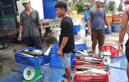 Xuất hiện tình trạng cá bớp chết ở Vạn Ninh (Khánh Hòa), người dân bán tháo