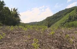 """""""Nóng"""" tình trạng lấn chiếm đất rừng để trồng keo"""
