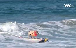 Hấp dẫn cuộc thi đua chó… lướt sóng