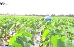 Hậu Giang: Trồng môn lấy ngó, thu nhập cao hơn trồng lúa