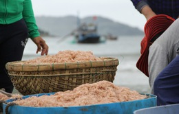 Ngư dân Bạc Liêu trúng đậm mùa ruốc biển