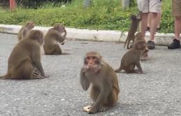 Du khách cho khỉ ăn tại bán đảo Sơn Trà: Tiềm ẩn nhiều mối nguy hại