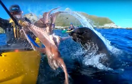 Hy hữu chèo thuyền kayak chứng kiến cuộc chiến giữa hải cẩu và bạch tuộc