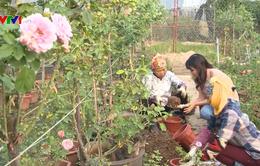 Buổi sáng của những nông dân trồng hoa hồng