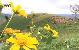 Chinh phục ngọn núi Chư Đăng Ya ngắm hoa dã quỳ nở vàng rực