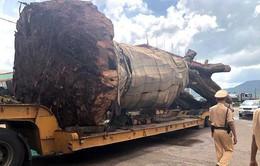 """Bình Định: Tạm giữ xe đầu kéo chở cây đa """"siêu khủng"""""""
