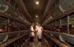 Buổi sáng tại trang trại gà công nghệ cao