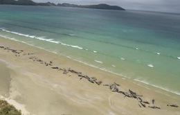 Mắc cạn tại bờ biển New Zealand, gần 150 cá voi chết hàng loạt