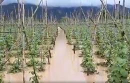 Mưa lũ lớn khiến hơn 70ha hoa màu của Lâm Đồng ngập nặng