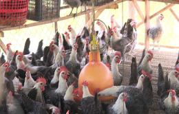 Gà thảo mộc khác gì với gà bình thường?