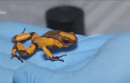 Colombia: Thu giữ 216 con ếch phi tiêu độc