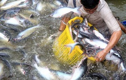 Giá cá tra tăng cao nhất từ trước đến nay