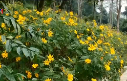 Rực rỡ hoa dã quỳ tại Vườn Quốc gia Ba Vì
