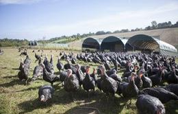 Các trang trại gà tây bận rộn dịp Giáng sinh