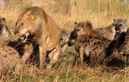 """""""Trận chiến giữa sư tử và 20 linh cẩu"""" trở thành video thiên nhiên hấp dẫn nhất năm 2018"""