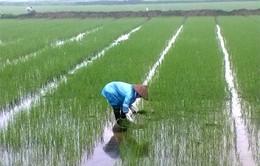 Đà Nẵng, Quảng Nam gấp rút triển khai vụ lúa Đông Xuân