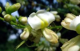 Hoa hòe – dược liệu hữu hiệu chữa tăng huyết áp