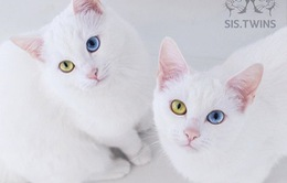 Mèo song sinh 2 màu mắt làm cư dân mạng bấn loạn