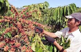 Đắk Lắk đẩy mạnh liên kết sản xuất cà phê bền vững