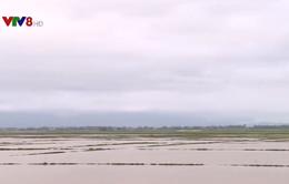 Gần 10.000 ha lúa mất giống do mưa muộn