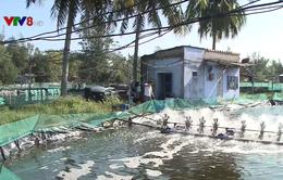 Quảng Nam: Hỗ trợ 35 nghìn tôm giống cho vùng tôm chết hàng loạt