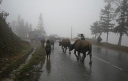 Lào Cai khuyến cáo người dân Sa Pa không thả rông gia súc trong những ngày rét đậm