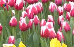 Đón ngày mới tại vườn hoa tulip đủ sắc màu ở TP biển Nha Trang