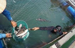 Lý Sơn: Cá bớp chết hàng loạt, người dân thiệt hại nặng