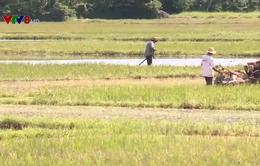 Ảnh hưởng từ bão số 9, gần 8.000 ha lúa vụ Đông Xuân có nguy cơ trễ lịch thời vụ