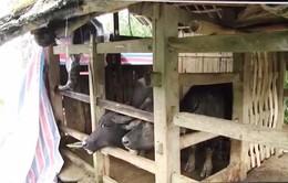 Lào Cai tích cực chống rét cho vật nuôi