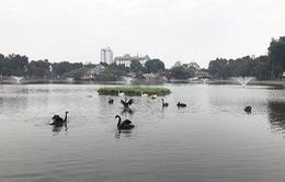 Thả thiên nga ở Hồ Gươm: Nên hay không?