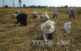 Thái Lan khuyến cáo không tăng sản lượng lúa gạo