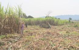 Khan hiếm trầm trọng lao động thu hoạch mía tại các tỉnh miền Trung