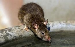 Paris diệt chuột sau lụt