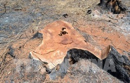 Khởi tố, bắt tạm giam đối tượng chủ mưu phá rừng ở huyện Đắk Glong, Đắk Nông