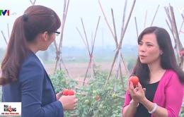 Cà chua chín đỏ có giữ được tươi trong 7-10 ngày?