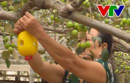 """Ninh Thuận phát triển trồng táo sử dụng """"bẫy sinh học"""""""