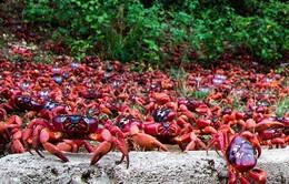 Độc đáo biển cua đỏ di cư ở Australia