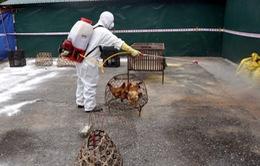 Tiêu hủy gần 3.000 con gà nhiễm cúm A/H5N6 tại Hải Phòng
