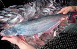 Giá tăng cao - Tín hiệu vui đầu năm của ngành cá tra Việt Nam