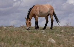 Tất cả loài ngựa hoang trên thế giới đã tuyệt chủng