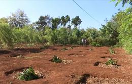Đắk Lắk: Hàng trăm gốc cà phê bị chặt hạ ngay độ tuổi thu hoạch