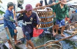 Giá cá tra tăng kỷ lục