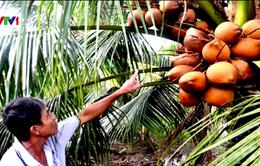 Nông dân thu nhập khá nhờ trồng dừa Mã Lai