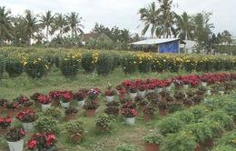 Nông dân Tây Nguyên phấn khởi vì hoa Tết bán được giá cao