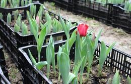 Trồng thành công hoa tulip tại Phú Yên