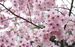 Hoa anh đào Nhật Bản nở sớm hơn so với thường lệ