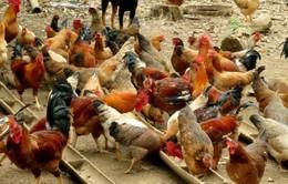 Nâng cao chất lượng gà đồi Lạc Sơn (Hòa Bình)