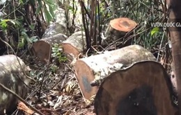 """""""Thảm sát"""" rừng ở vùng lõi Vườn Quốc gia Tam Đảo"""